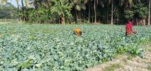 ২শ কোটি টাকা বিক্রির টার্গেট লক্ষ্মীপুরে শীতের শাক সবজির বাম্পার ফলন